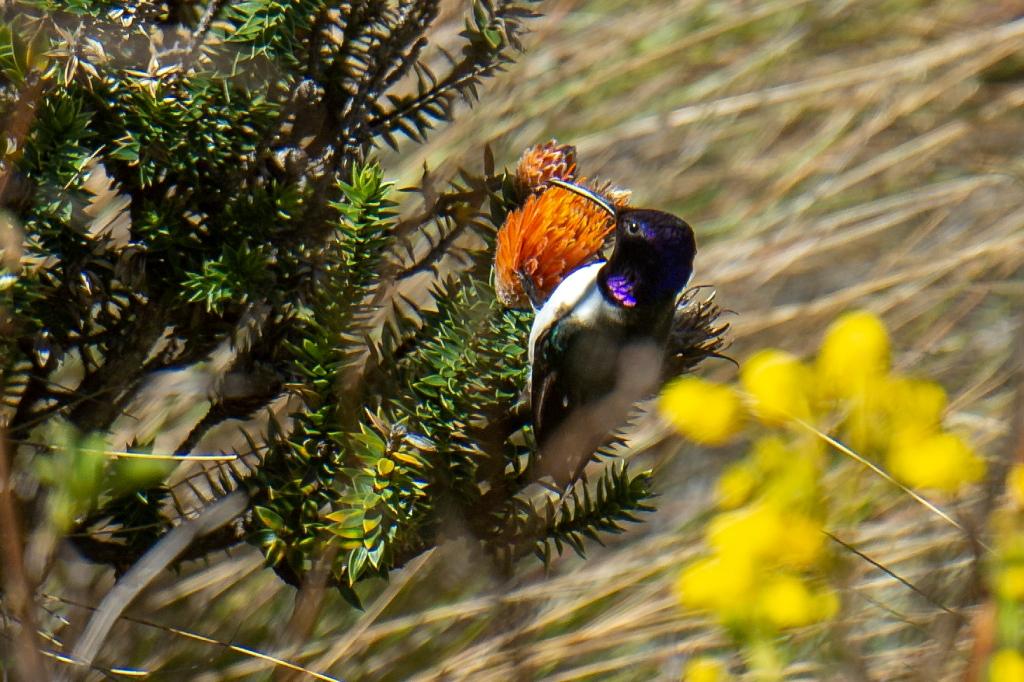 colibrí estrellita ecuatoriana (Oreotrochilus chimborazo)