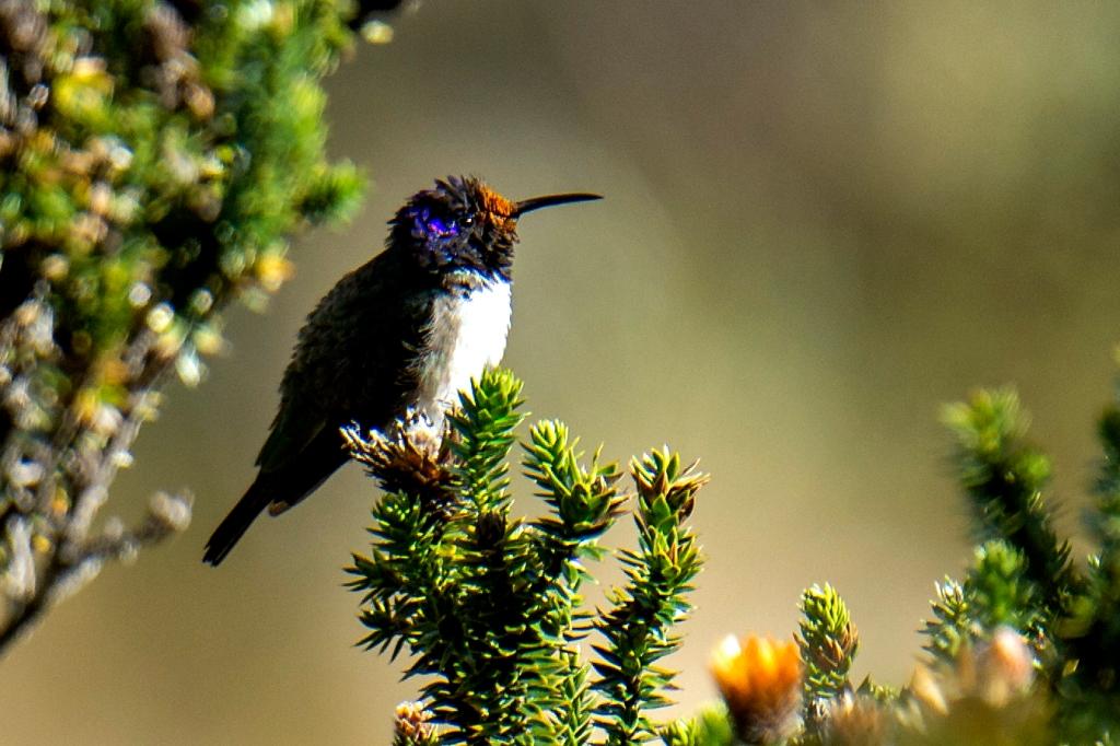 colibrí estrellita ecuatoriana contratenor