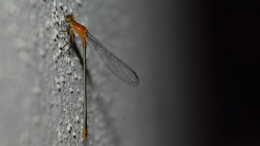 libélula en México. Derechos de Autor Aline Torres